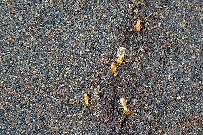 Termites on the ground
