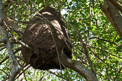 Termite nest in  a tree