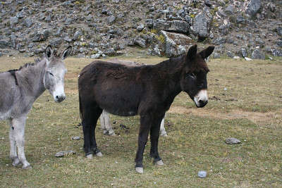 Mules: Nicol said he always brought one dark colored one so he could see the mules easier.  The gray ones blend in perfectly with the rocks.