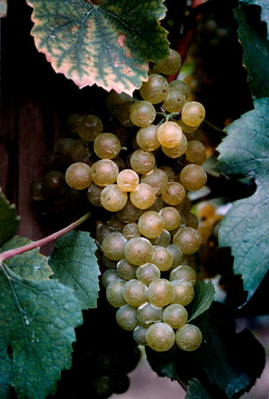 Chardonnay grapes. Hudson Valley, New York state, c.1987
