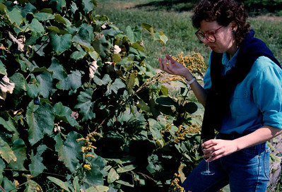 Not quite ripe. Vineyards, Hudson Valley, NY - c.1986
