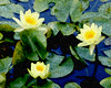 Abstract, Water lillies, Vanderbilt Estate, Hyde Park, NY