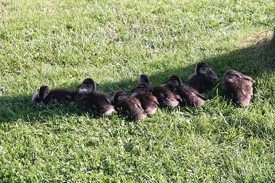 Ducks like rain? No, Ducks like shade  (somewhere along the Danube in Germany)