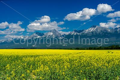 The Tatra Mountains across a field of rapeseed near Poprad, Slovakia