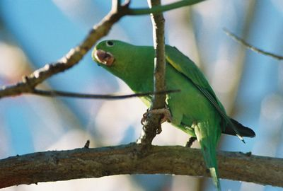 1/2/04 Yellow-Chevroned Parakeet (Brotogeris chiriri). Huntington Library & Gardens