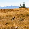 Fowl play! Grouse?