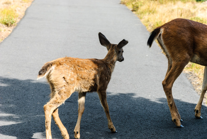 Why did the fawn cross the trail?
