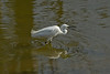 Little Egret catches a tiny fish