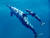 Kauai, Hawaii, the Napali Coast. Spinner Dolphins, adult & young, off Waimea, aug 23, 2005