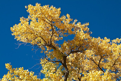 Cottonwoods Fall Bosque _MG_0367