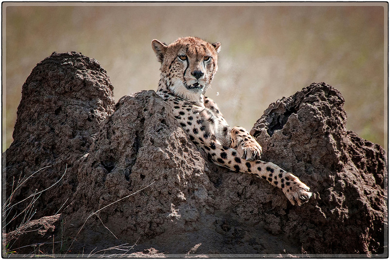 Cheetah on the Termite Mounds