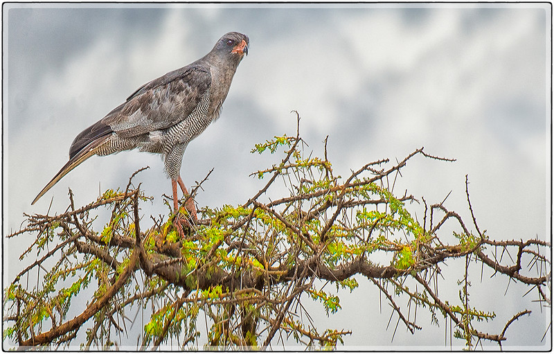 The Pale Chanting Goshawk