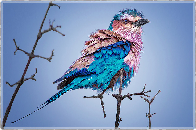 Ruffled Feathers : The Lilac Breasted Roller