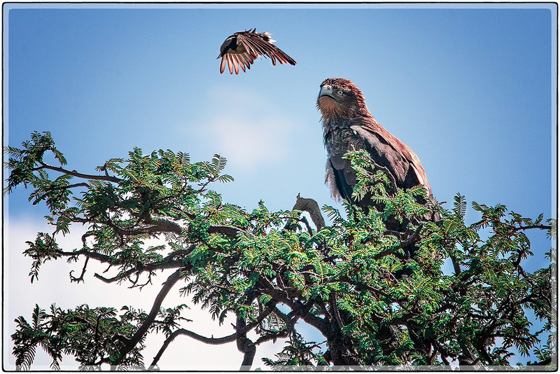 Intruder : The Brown African Eagle