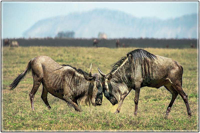 Wildebeest Confrontation