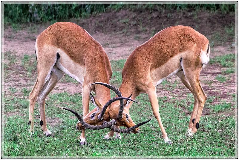 Impalas : Antlers Locked