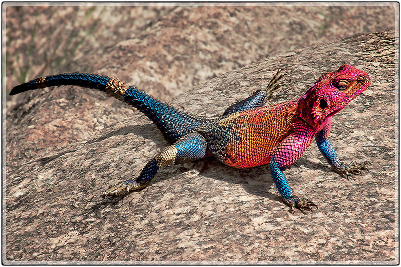 The Colors of the Agama Lizard