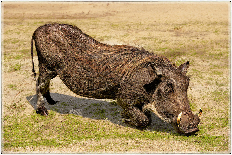 "The Warthog : "" On its Knees "" adaptation to reach the low grass."