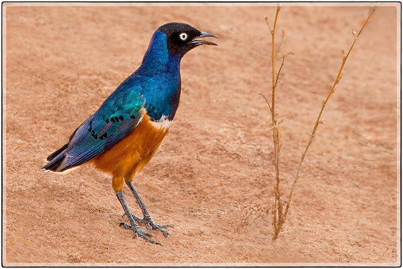 The Superb Starling