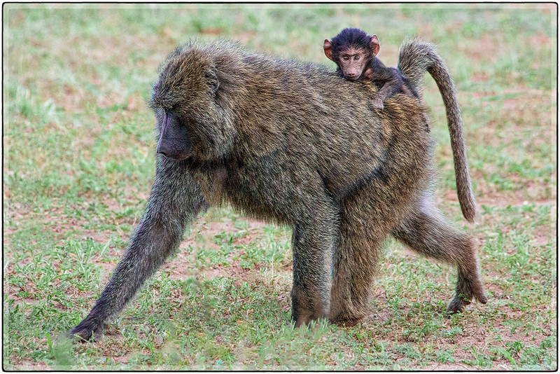 The Hitch-Hiker : Mother and Baby Baboon