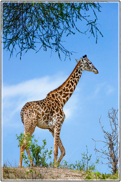 A Giraffe in the Sky