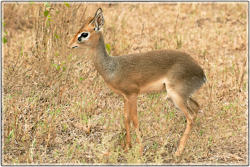 The Innocent Dik-Dik