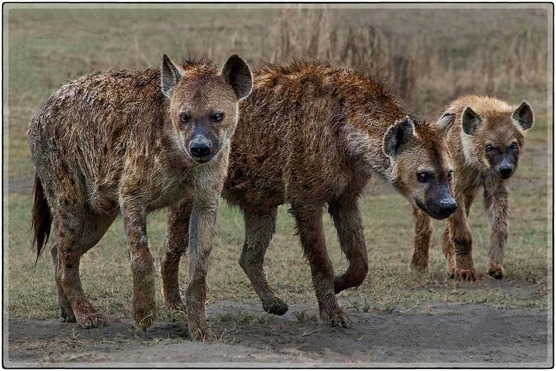 Hyenas : The Family Clan