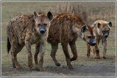 Hyenas : The Family Clan