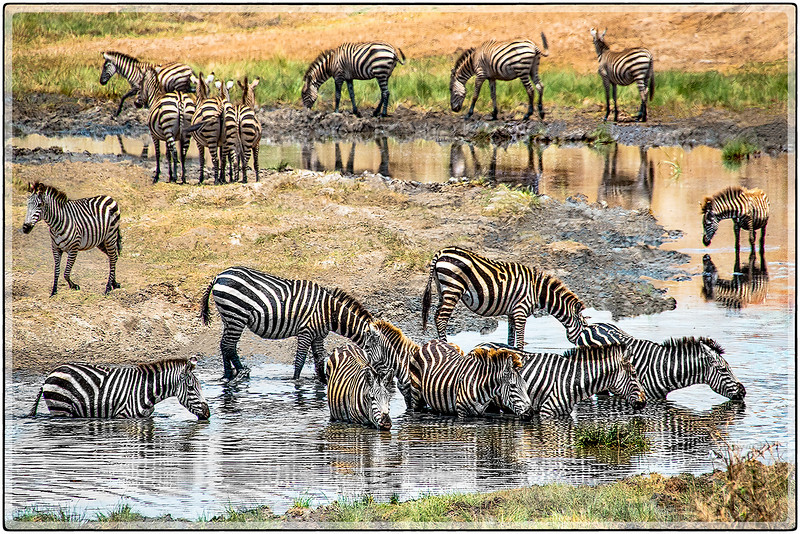 Zebras in the Water Hole