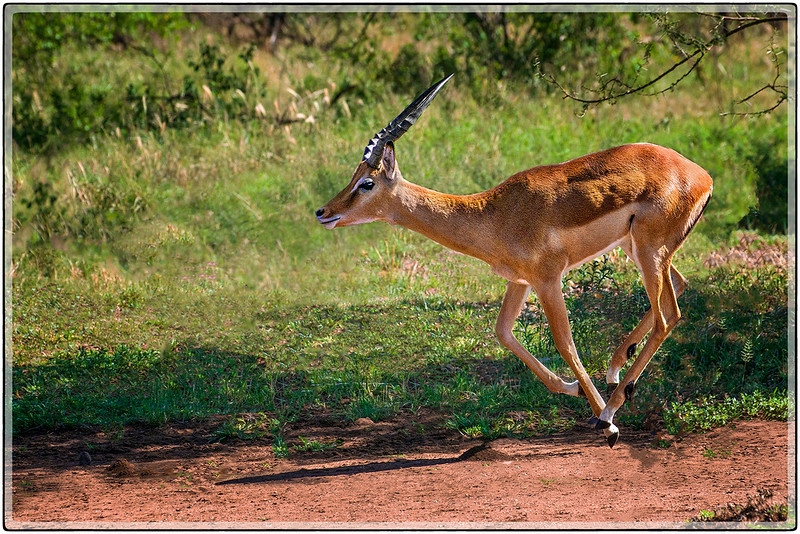 A Galloping Reedbuck