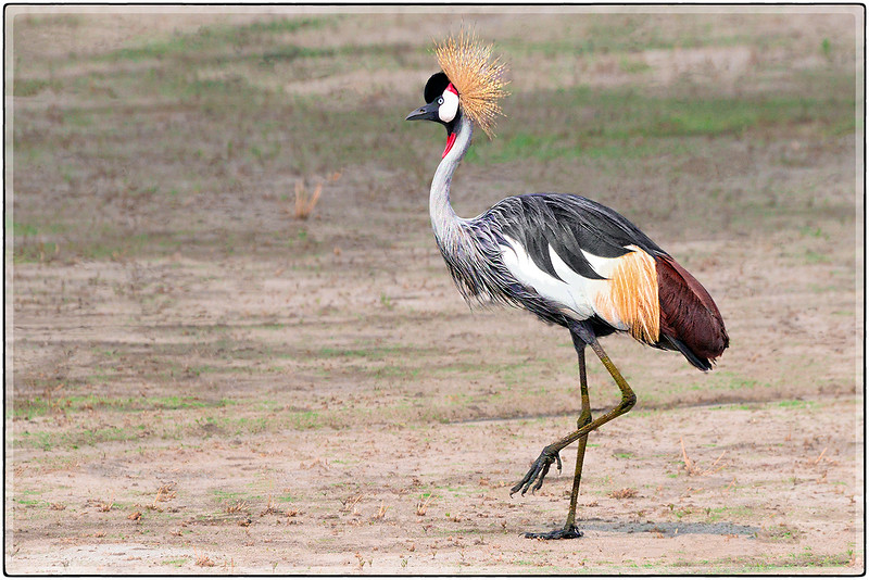 The Wild Beauty of the Black Crowned Crane
