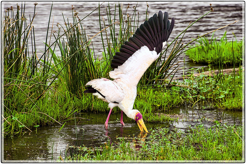 Yellow Billed Stork : Fishing