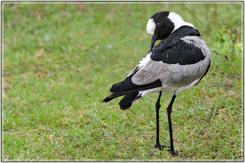 Rain on the Feathers of the Blacksmith Plover