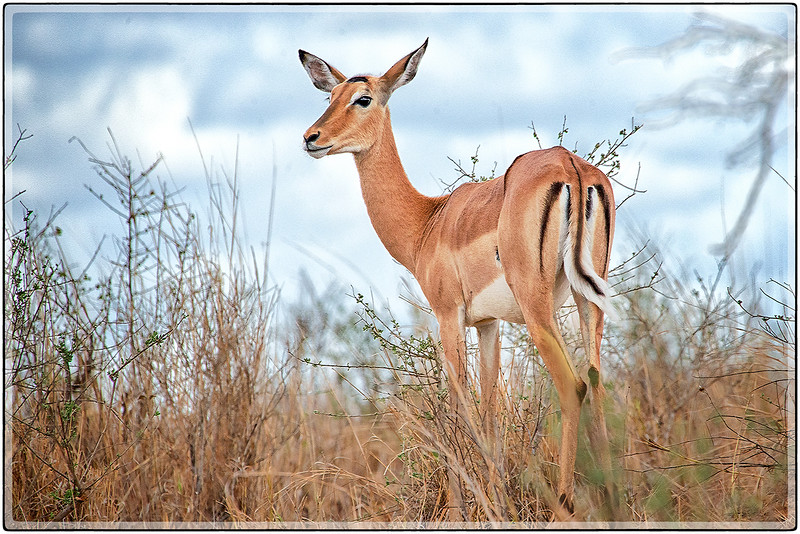 A Female Impala