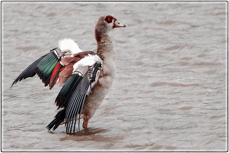 The Colors of the Egyptian Goose