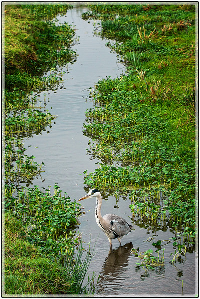 Heron in a Stream