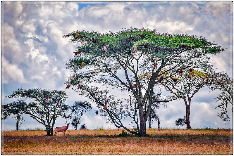 Under the Acacia