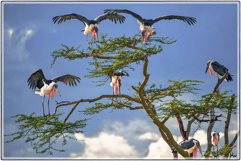 A Crew of Marabou Storks