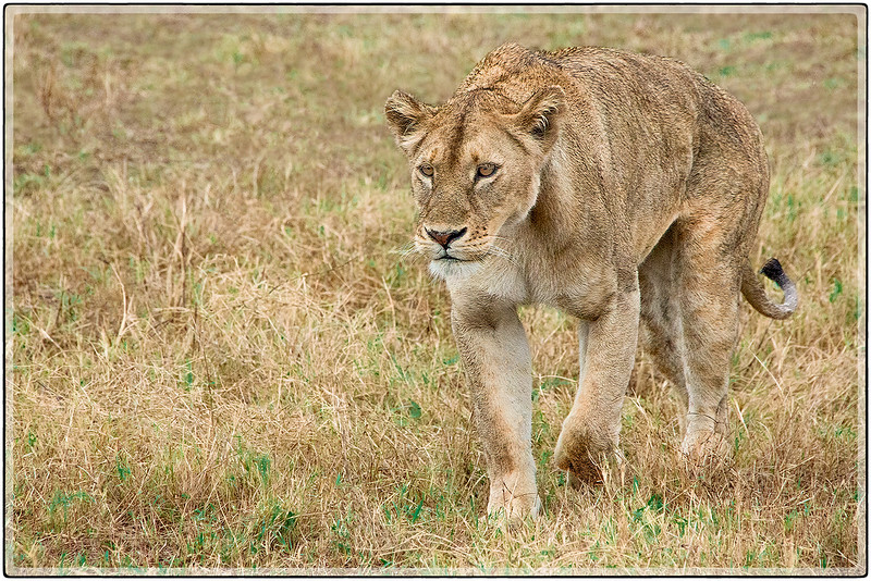 An Approaching Lioness