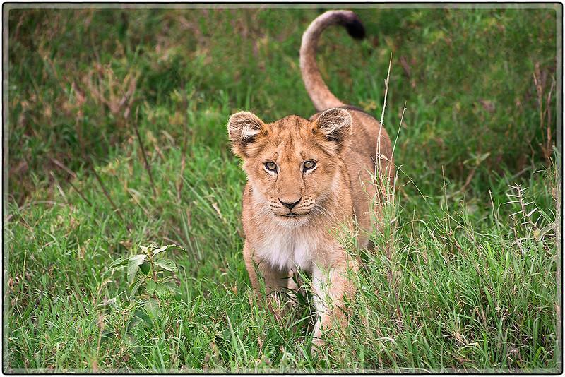 A Curious Lion Cub