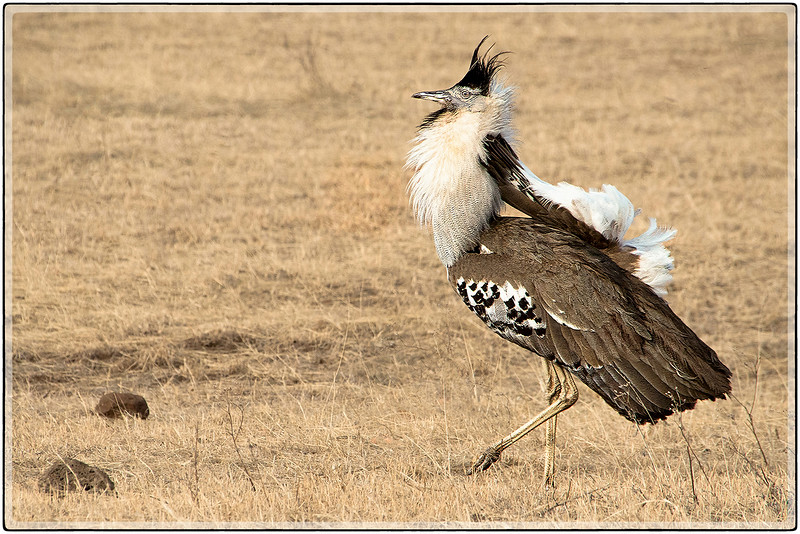 The Kori Bustard : Feathered Display