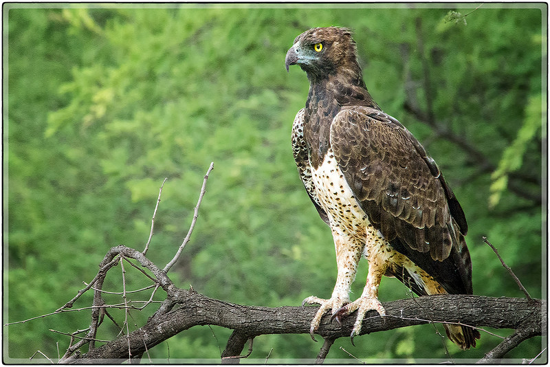 The Martial Eagle