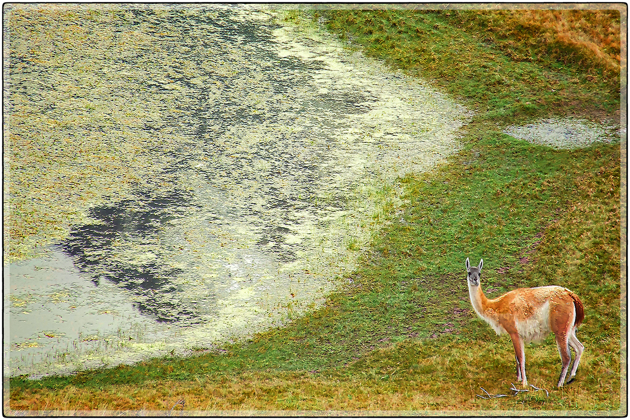 Guanaco At A Waterhole