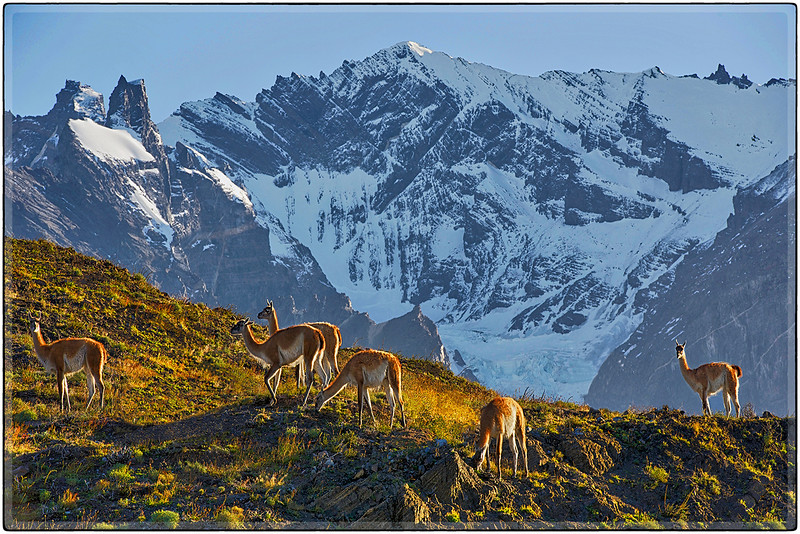 Guanacos In The Mountain Light