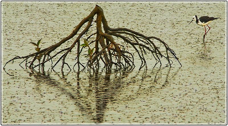 A Stilt on The Miranda Wetlands