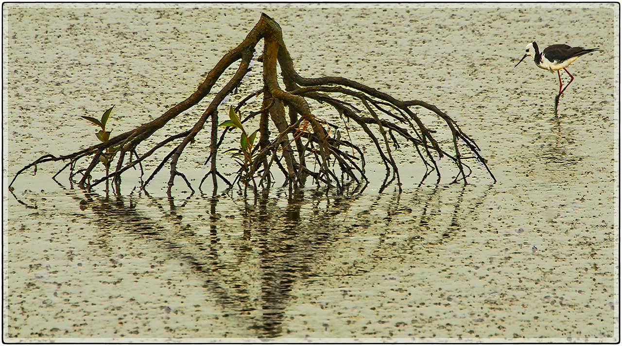 A Stilt on The Miranda Wetlands