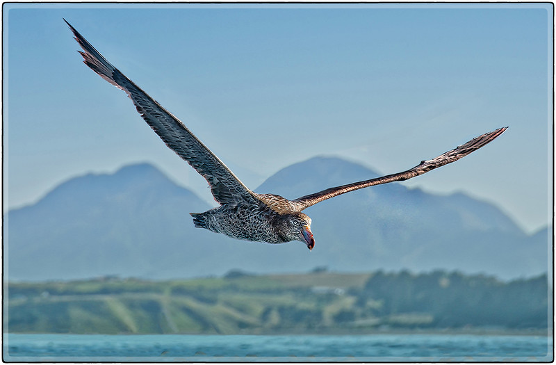 Northern Giant Petrel, Southern Coast