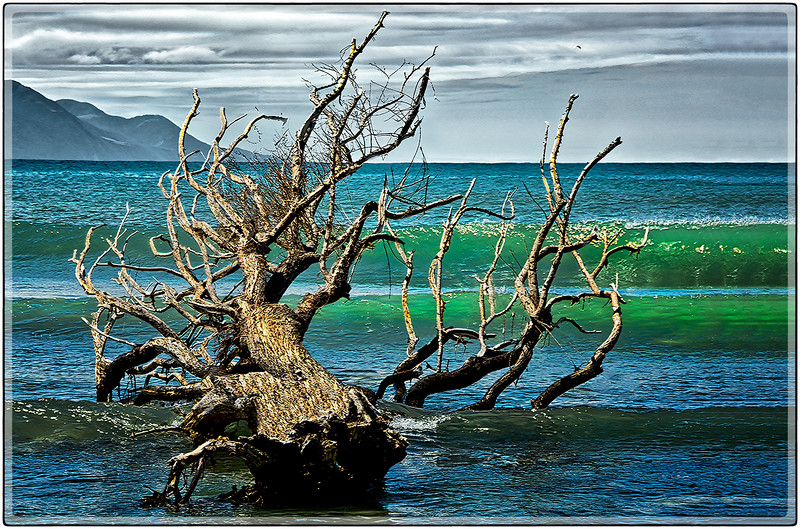 Dead Tree, Coast of Kaikoura