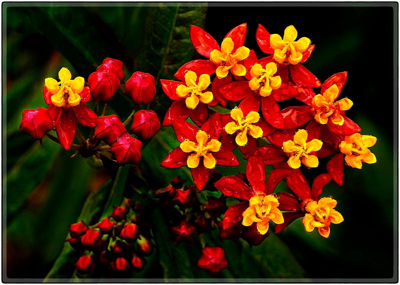 After The Rain (Physalis Peruviana)