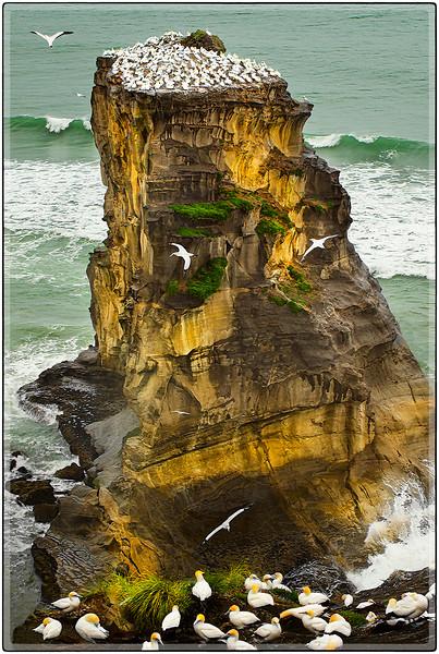 Nesting Stack of Australasian Gannets